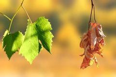Life and death. Concept of life and death - two leaves in the vineyard over autumn background Stock Photography