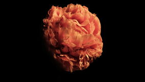 Life and Death of a Peony Flower stock video footage