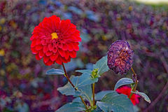 Two plants side by side,one vibrant and alive, one in contrast withered and dead. Royalty Free Stock Photos