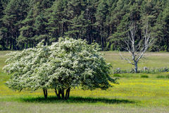 Life and death: a thriving and a wilting tree royalty free stock photography