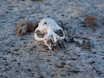 In life and death. A small skull found on a rock face with nothing but rocks no body Royalty Free Stock Photo
