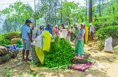 Daily life of Ella tea pickers Royalty Free Stock Images