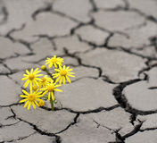Life in extreme conditions. Lonely yellow flower growing on dried cracked soil Stock Photos
