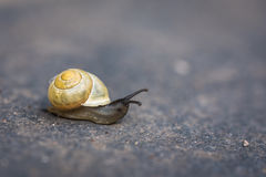 Life in the fast lane. Macro image of a garden snail moving across a grey, natural slate Royalty Free Stock Photos