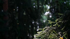 The life of flying insects in the coniferous forest. stock video footage