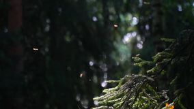 The life of flying insects in the coniferous forest. stock video