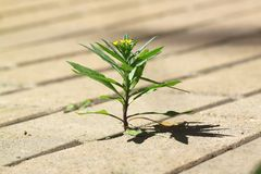 Life force. Small and tender plant could pierce street tiles and the beginning of growth in the sun. He had the stamina to even bloom Stock Photos