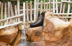Life of the fur seal. Royalty Free Stock Photo