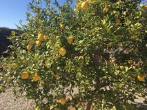 When life gives you lemons. Beautiful lemon tree in the sun, Valencia Spain Stock Images