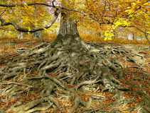 Life-giving  roots. Old oak-tree and  his roots Royalty Free Stock Photography