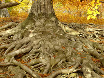 Life-giving  roots. Old oak-tree and  his roots Stock Photography