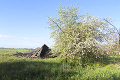 Life goes on. Ruined barn in rural outback near flowering trees on a background of clear sky of spring Royalty Free Stock Photo