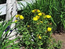 Life Golden. These are yellow Primroses  blooming in a flower garden showing the natural beauty of life that shows the treasures we are blessed with Royalty Free Stock Photos