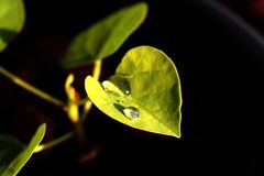 Life on a green leave. Water drop on a green leave represents life in its best form stock photos