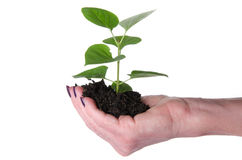 Life and growth concept with a human hand holding a green small Royalty Free Stock Images