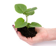 Life and growth concept with a human hand holding a green small Stock Photography