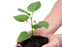 Life and growth concept with human hands holding a green small p Stock Photos