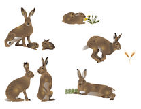 Life of hare Royalty Free Stock Photography