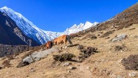 Life in Himalaya Royalty Free Stock Image