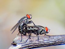 From the life of insects. Flies with pleasure reproduce in flowers of dill Stock Images