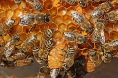 Life of insects. Reproduction of bees. Royalty Free Stock Photo