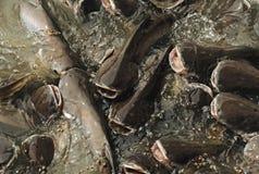 Life instinct concept. Feeding many fish in pond. Iridescent shark Fish or Sawai fish Royalty Free Stock Photo
