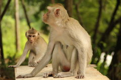 The life of monkey Royalty Free Stock Photography
