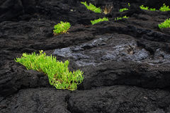 Life on lava Royalty Free Stock Photos
