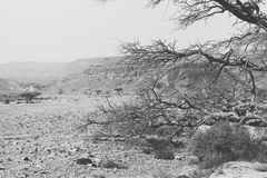 Life in a lifeless desert. Life in a lifeless infinity of the Negev Desert in Israel. Breathtaking landscape and nature of the Middle East. Black and white photo royalty free stock photo