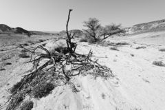 Life in a lifeless desert. Life in a lifeless infinity of the Negev Desert in Israel. Breathtaking landscape and nature of the Middle East. Black and white photo stock images
