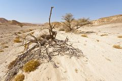 Life in a lifeless desert. Life in a lifeless infinity of the Negev Desert in Israel. Breathtaking landscape and nature of the Middle East Royalty Free Stock Photos