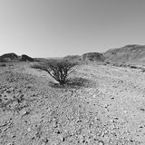 Life in a lifeless desert. Life in a lifeless infinity of the Negev Desert in Israel. Breathtaking landscape and nature of the Middle East. Black and white photo royalty free stock photos