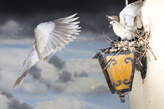 Life Light. Dove flies to the nest Royalty Free Stock Image