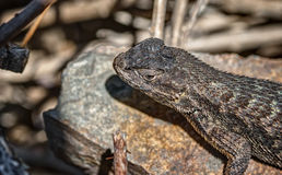 Iridescent Lizard Suns itself on Rock. Beautiful and Colorful Lizard Soaks up the Sun on a Warm Rock Stock Images