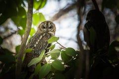 Life Long Partner. A pair of Mottled wood owl Stock Photo