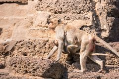 .The life of long tail funny monkeys with archaeological sites. Lopburi Thailand. The life of long tail funny monkeys with archaeological sites. Lopburi Thailand stock photo