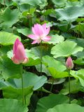 Life of Lotus Flower: from Bud to Seed Royalty Free Stock Photography