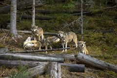 Life in the pack of wolves. You can see hierarchy in the pack of wolves. The inferiors are wolf cubs that was borned in spring. The `smiling wolf` is their royalty free stock photography