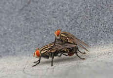 Life Partners. Macro shot of fly mateing royalty free stock image