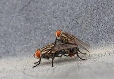 Life Partners. Macro shot of  fly mateing Royalty Free Stock Image