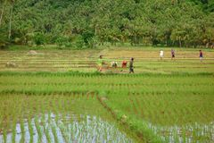 Rice field work Royalty Free Stock Photography