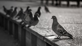 The life of pigeons. Black and white photo: The life of the pigeons in a small city park royalty free stock image