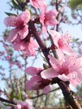 Life is pink. Pink flowers in tree Royalty Free Stock Photo