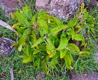 Life Plant growing wild in Rodrigues Island, Mauritius Royalty Free Stock Photos