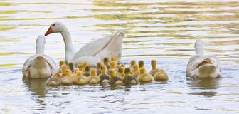 Life in the pond. This image shows a pair of geese, and a daughter of the previous year with the current offspring, swimming in the lake. The adults around the Stock Images
