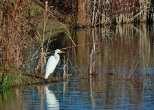 Life at the Pond. Great white heron at a pond in North Carolina Stock Photography