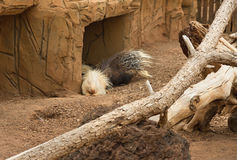 Life of porcupines. Royalty Free Stock Images