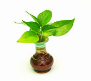A life of Pothos tree. Royalty Free Stock Photography