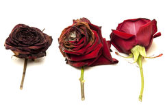 Life of a red rose Royalty Free Stock Images