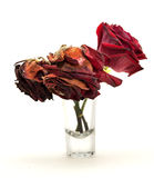 Life of a red rose Stock Photography